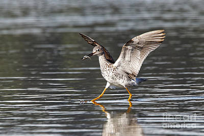 Greater Yellowlegs Poster