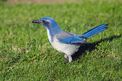 Western Scrub Jay With Beetle Poster by Sharon Talson