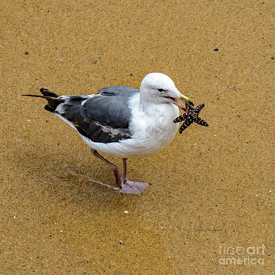 Western Seagull Carrying A Starfish Poster
