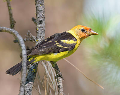 Western Tanager In The Pines Poster