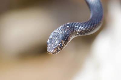 Western Whip Snake Poster by Manolis Nikolakakis