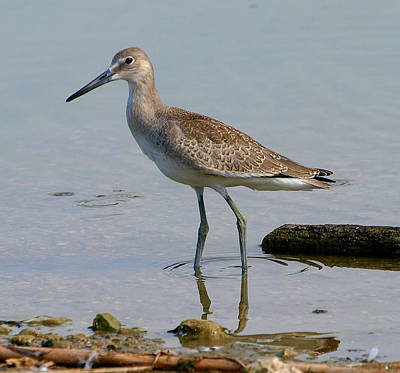 Western Willet Poster by Kala King
