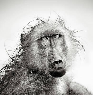 Wet Baboon Portrait Poster