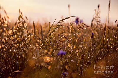 Wet Grass In Sunset Light Poster