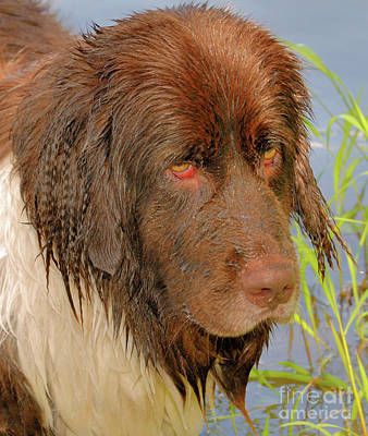 Poster featuring the photograph Wet Newfie by Debbie Stahre