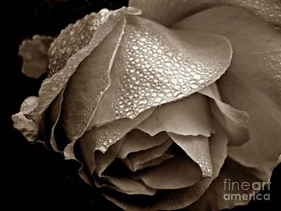 Wet Rose In Sepia Poster