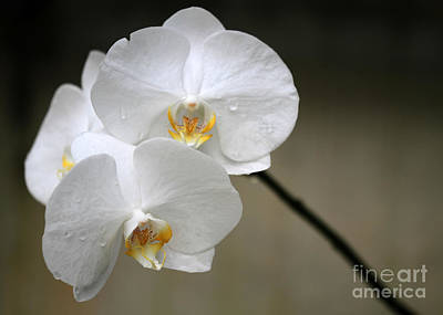 Wet White Orchids Poster