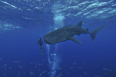 Whale Shark And Diver, Maldives Poster by Mathieu Meur