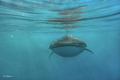 Whale Shark Poster by Tim Fitzharris