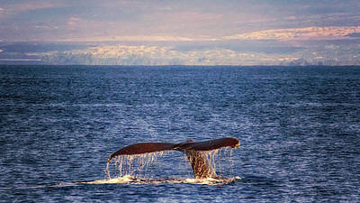 Poster featuring the photograph Whale Tail by Susan Rissi Tregoning
