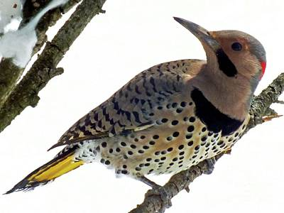 What Was That - Northern Flicker Poster