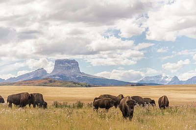 Where The Buffalo Roam Poster by Alex Lapidus