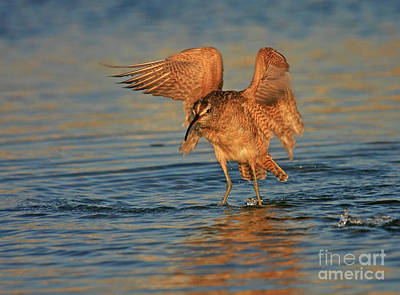 Whimbrel Colors Poster