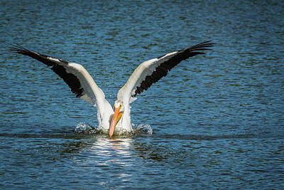 White American Pelican Poster