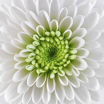White And Green  Chrysanthemum Poster by Jim Hughes