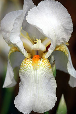Poster featuring the photograph White Bearded Iris 2 by Sheila Brown