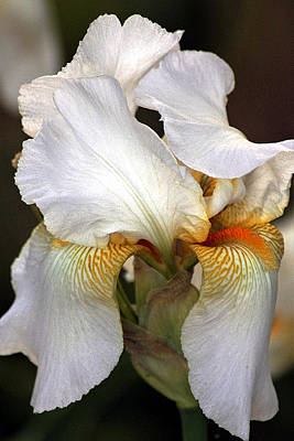 Poster featuring the photograph White Bearded Iris by Sheila Brown
