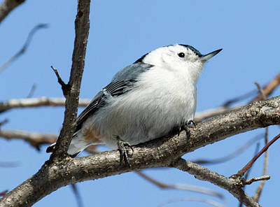 Poster featuring the photograph White-breasted Nuthatch Perched by Ricky L Jones