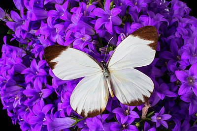 White Butterfly On Campanula Poster