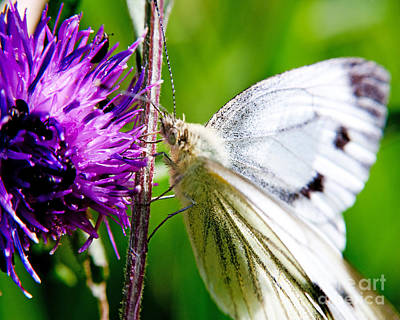 White Cabbage Butterfly Pieris Rapae On Purple Thistle Flower Poster by Chris Smith