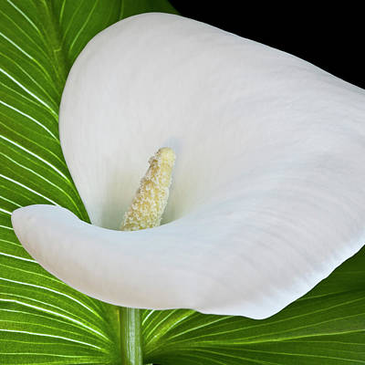 White Calla Poster by Heiko Koehrer-Wagner