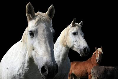 White Camargue Horses On Black Background Poster by Aidan Moran