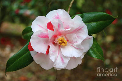 White Camellia With Hint Of Pink Poster by Carol Groenen