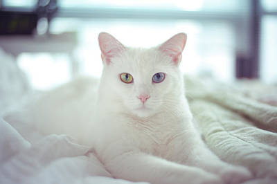 White Cat Laying On Comfy Bed Poster by by Dornveek Markkstyrn