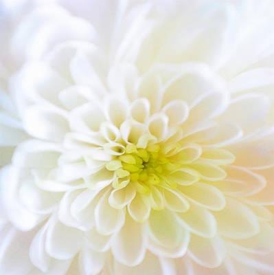 White Chrysanthemum Poster by Cynthia Decker