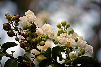 Poster featuring the photograph White Crape Myrtle- Fine Art by KayeCee Spain