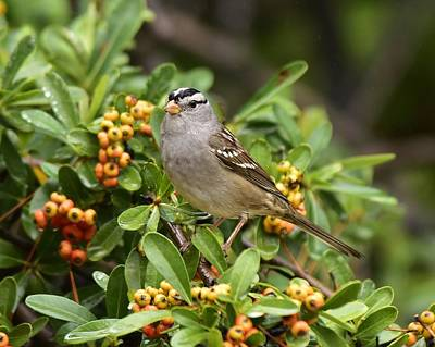 White Crowned Sparrow 2 Poster