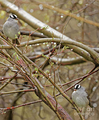 White Crowned Sparrows Poster