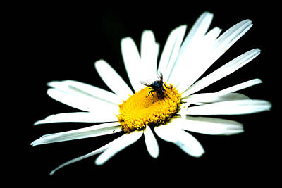 Poster featuring the photograph White Daisy Flower And A Fly by Alexander Senin