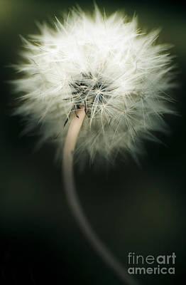 White Dandelion Poster