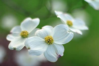 White Dogwood Flower Poster by Andrea Kappler