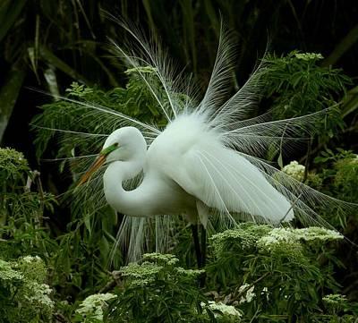 White Egret Displaying Poster
