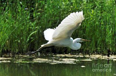 White Egret In Flight Poster