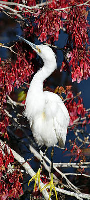 White Egret In Red Maple Tree Poster