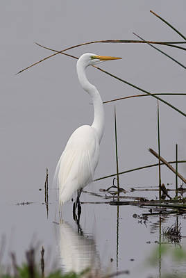 White Egret On A Gray Day Poster by Loree Johnson