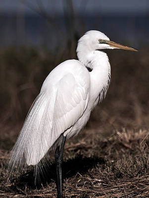 White Egret Portrait Poster by Rose  Hill