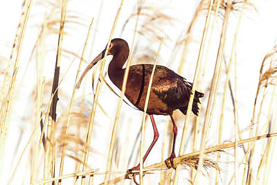 White Faced Ibis In Reeds Poster by Robert Frederick