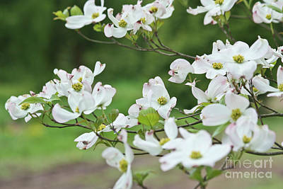 White Flowering Dogwood Poster by Ann Murphy