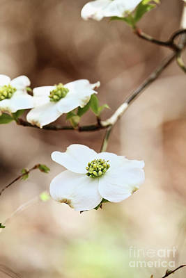 Poster featuring the photograph White Flowering Dogwood Tree Blossom by Stephanie Frey