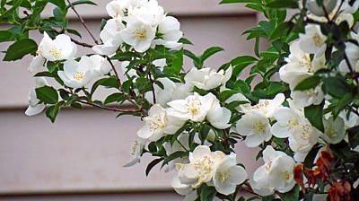 White Flowering Spring Bush Poster