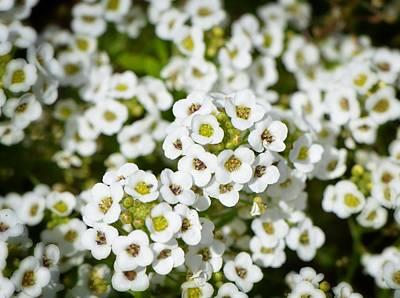 White Flowers - Garden Gems - Sharon Cummings Poster by Sharon Cummings