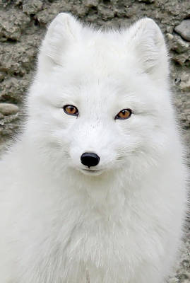 White Fox Poster