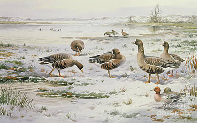 White Fronted Geese Poster by Carl Donner