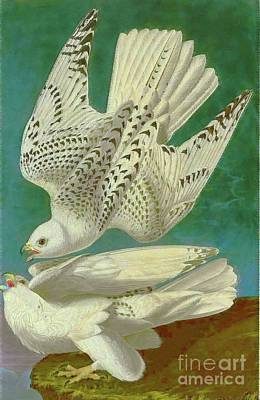 White Gyrfalcons Poster by D Fessenden