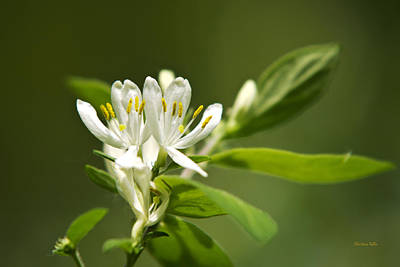 White Honeysuckle Flowers With Green Background Poster by Christina Rollo