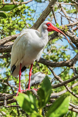 Poster featuring the photograph White Ibis In Tree by Bob Slitzan